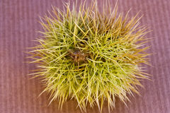 prickly sweet chestnut. A prickly wild sweet chestnut Stock Photography