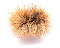 Sweet chestnut Royalty Free Stock Photo