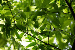 Sweet chestnut canopy Stock Photo
