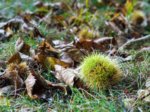 Sweet Chestnut. Castanea sativa fallen from the tree stock image