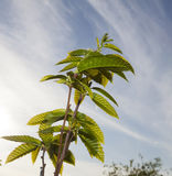 Sweet chestnut Castanea sativa Stock Photos