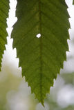 Sweet chestnut (Castanea sativa) leaf Stock Images