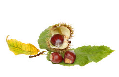 Sweet chestnut Stock Images