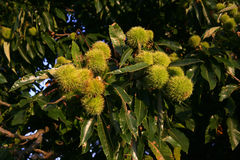 Sweet chestnut,  Castanea sativa Royalty Free Stock Image