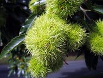 Sweet Chestnut. S fruits on tree Stock Image