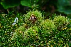 Sweet chestnut Stock Photography