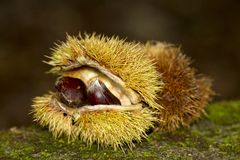 Sweet chestnut fruit Royalty Free Stock Photography
