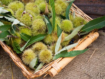 Sweet chestnut harvest, in basket with leaves. Stock Image