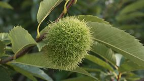 Sweet Chestnut Castanea sativa 4K video stock footage