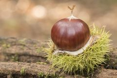 A sweet chestnut in its case stock image