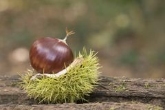 A sweet chestnut in its case stock photos