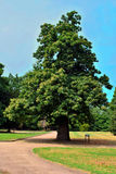 Sweet Chestnut Stock Photos