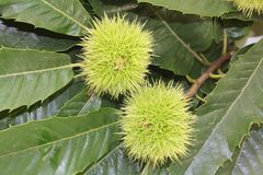 Sweet chestnut Stock Image