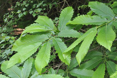 Sweet Chestnut Leaves Stock Photo