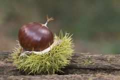 A sweet chestnut in its case royalty free stock photography