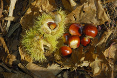 Sweet Chestnut Nuts Royalty Free Stock Photography