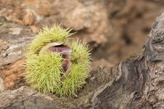 A sweet chestnut on Southampton Common stock images