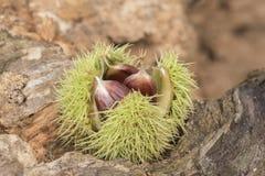 A sweet chestnut on Southampton Common stock photo