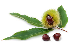 Sweet Chestnut's Twig with Fruits Royalty Free Stock Photo