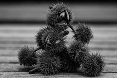 Sweet chestnut stack b&w Royalty Free Stock Image