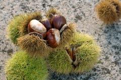 Sweet Chestnut still life. Castanea sativa. Edible chestnut royalty free stock images