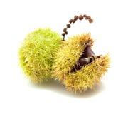 Sweet chestnut Stock Photos