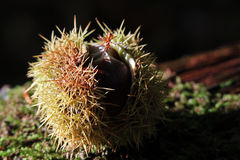 Sweet chestnut. In the sunlight Royalty Free Stock Photo