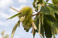 Sweet chestnut tree Stock Image