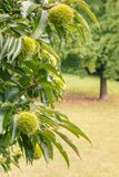 Sweet chestnut tree with chestnuts in husks. Close-up of sweet chestnut tree with chestnuts in husks Royalty Free Stock Photography