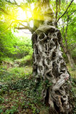 Sweet chestnut tree trunk Stock Image