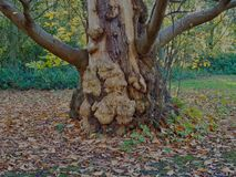 Sweet Chestnut Tree Stock Photos