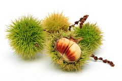 Sweet Chestnuts. Four sweet chestnuts, one of them half opened stock image