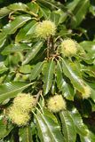 Sweet chestnuts. Closeup of sweet chestnuts growing on a tree Royalty Free Stock Photography