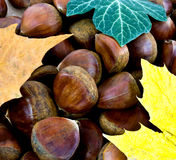 Sweet chestnut background Stock Image