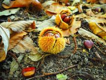 Sweet chestnuts in autumn fores. Ripe sweet chestnuts in the autumn forest lie on the ground Stock Images