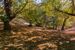 Sweet chestnuts Castanea Sativa orchard on a sunny autumn day. Ripe chestnuts fallen on the ground; San Francisco bay area, California Royalty Free Stock Image