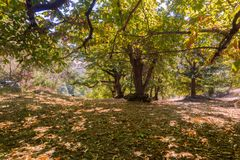 Sweet chestnuts Castanea Sativa orchard on a sunny autumn day. Ripe chestnuts fallen on the ground; San Francisco bay area, California Stock Photo