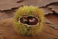 Sweet Chestnuts on fallen leaves. A closeup of Sweet Chestnuts on fallen leaves in autumn. The cupules are covered with spines. These spines serve the purpose of Stock Image