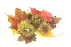 Sweet Chestnuts with foliage Stock Images