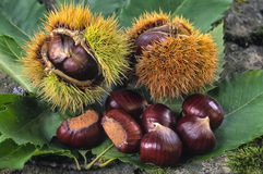 Sweet chestnuts, fruit of chestnuts tree (Castanea sativa) Stock Photo