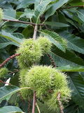 Sweet Chestnuts. Growing On A Tree Royalty Free Stock Images