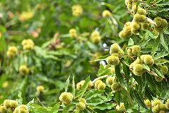 Sweet chestnuts growing on a tree. Tree full of a sweet chestnuts Royalty Free Stock Photos