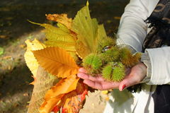 Sweet chestnuts in hands Royalty Free Stock Photos