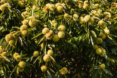 Sweet chestnuts in husk on tree. Closeup of sweet chestnuts in husk on tree Stock Photo
