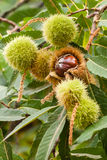 Sweet chestnuts. Husks and seeds Stock Images