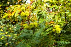 Sweet chestnuts in their ripe but prickly pods at sunset in Fore Wood, Crowhurst, East Sussex, England stock photo