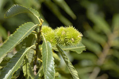 Sweet Chestnuts on Tree Stock Photos