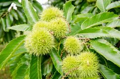 Sweet Chestnuts on tree royalty free stock photo