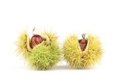 Sweet Chestnuts  on a white background. A closeup of Sweet Chestnuts  on a white background. The cupules are covered with spines. These spines serve the purpose Stock Photography