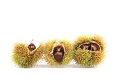 Sweet Chestnuts  on a white background. A closeup of Sweet Chestnuts  on a white background. The cupules are covered with spines. These spines serve the purpose Royalty Free Stock Photo